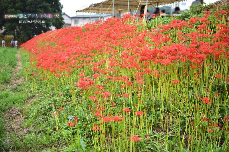 ごんの秋祭り*新見南吉記念館と彼岸花_e0131432_22113130.jpg