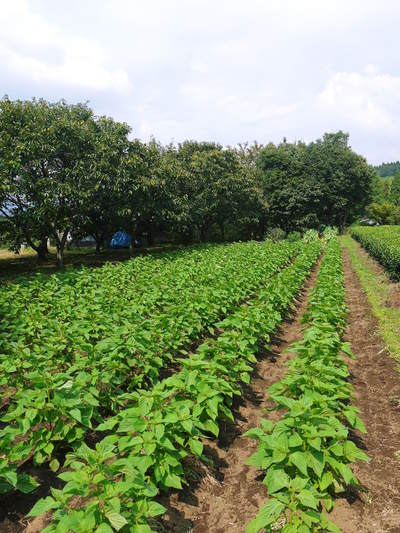 無農薬・無化学肥料で育てる「菊池水源産エゴマ」 黒エゴマの開花と台風16号による被害_a0254656_19213867.jpg
