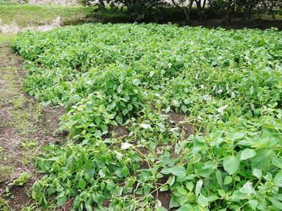 無農薬・無化学肥料で育てる「菊池水源産エゴマ」 黒エゴマの開花と台風16号による被害_a0254656_19492335.jpg