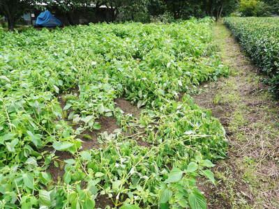 無農薬・無化学肥料で育てる「菊池水源産エゴマ」 黒エゴマの開花と台風16号による被害_a0254656_2093341.jpg