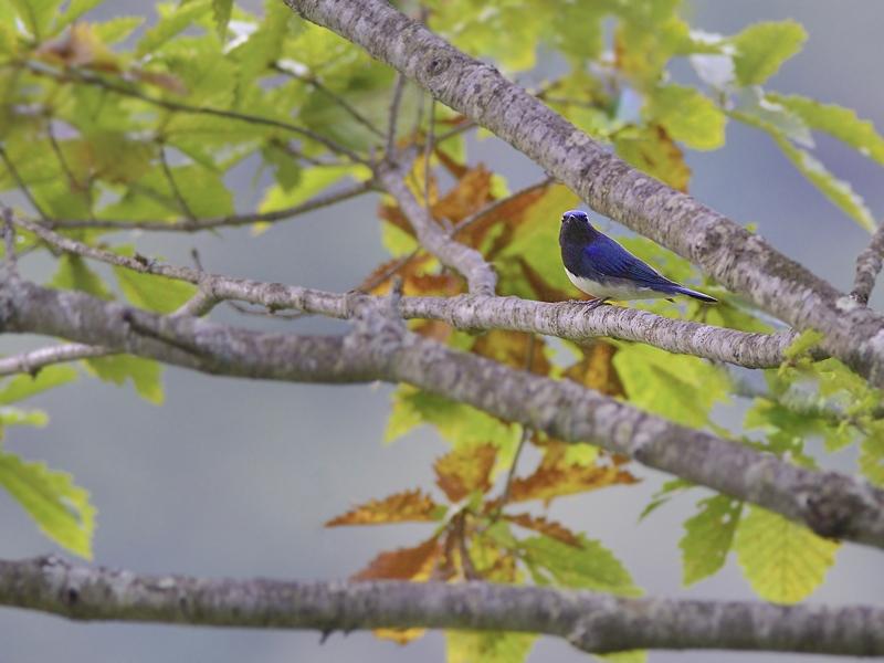 お山で鳥見(11)(オオルリ再び)_a0204089_5521589.jpg