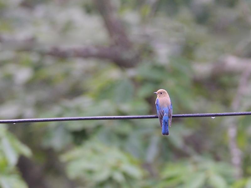お山で鳥見(11)(オオルリ再び)_a0204089_5523039.jpg