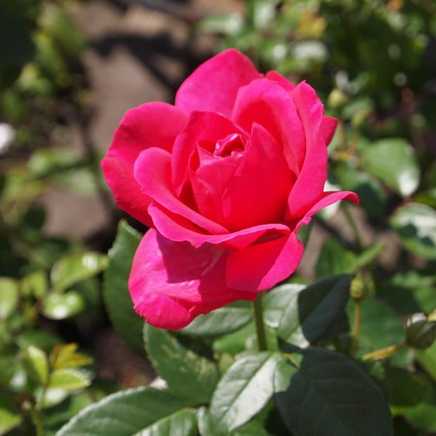 秋のバラと剪定について_a0292194_1543082.jpg