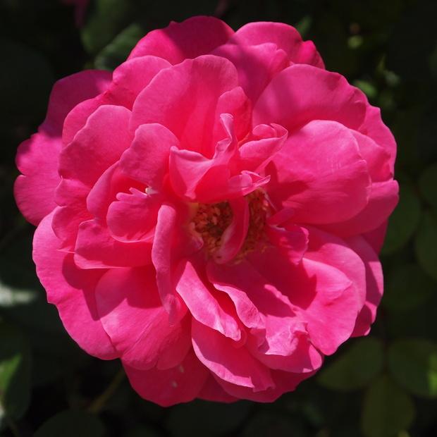 秋のバラと剪定について_a0292194_15431526.jpg