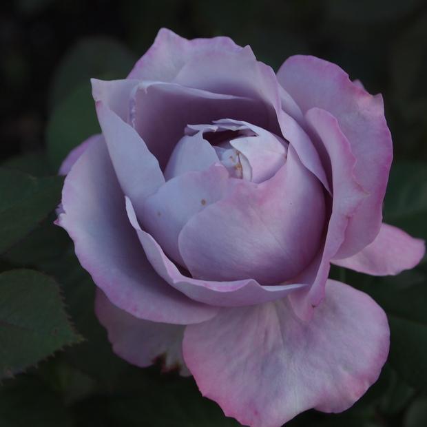秋のバラと剪定について_a0292194_15434565.jpg