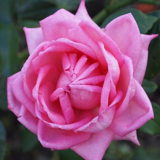 秋のバラと剪定について_a0292194_15455927.jpg