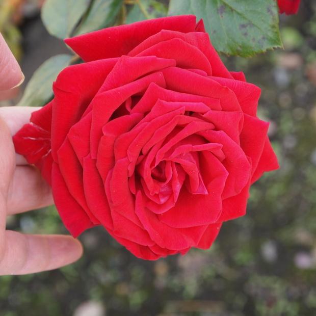 秋のバラと剪定について_a0292194_15474832.jpg