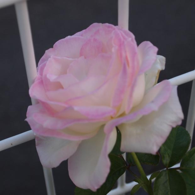 秋のバラと剪定について_a0292194_15484593.jpg