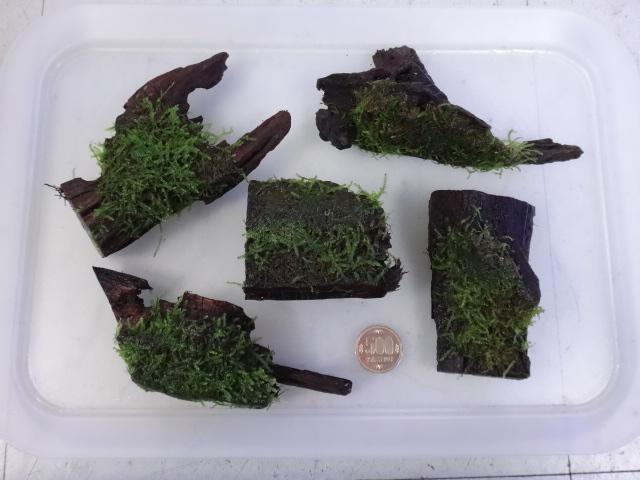 160922 熱帯魚・金魚・水草・観葉植物_f0189122_1351875.jpg