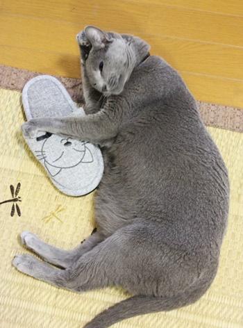 スリッパ大好き猫の寝姿_b0312424_684325.jpg