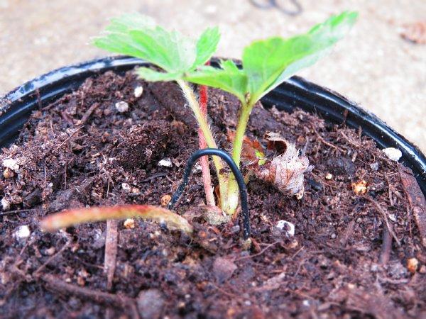 2016年9月25日 イチゴの植え付け作業_b0341140_14594933.jpg