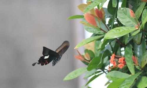 屋久島の蝶  Ⅱ_d0285540_06341452.jpg