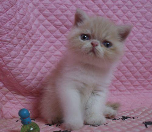 エキゾチックショートヘアー8月16日生まれ ナッチ赤ちゃん _e0033609_00144834.jpg