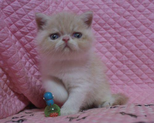 エキゾチックショートヘアー8月16日生まれ ナッチ赤ちゃん _e0033609_00150107.jpg