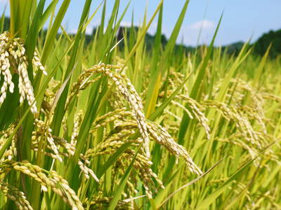 菊池水源棚田米 水にこだわる匠のお米!!今年も棚田に黄金色の稲穂がなびいています!_a0254656_17191476.jpg