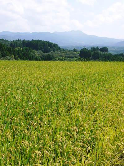 菊池水源棚田米 水にこだわる匠のお米!!今年も棚田に黄金色の稲穂がなびいています!_a0254656_17405989.jpg