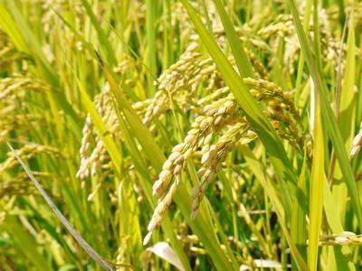 菊池水源棚田米 水にこだわる匠のお米!!今年も棚田に黄金色の稲穂がなびいています!_a0254656_1851186.jpg