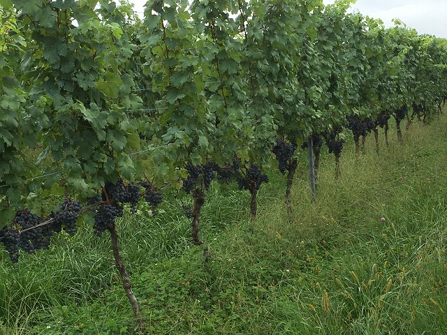 ワイン用ぶどう収穫体験へ_c0124100_22304660.jpg