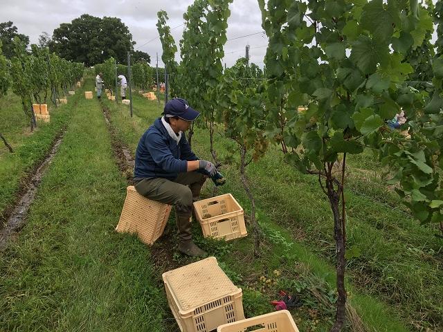 ワイン用ぶどう収穫体験へ_c0124100_22322539.jpg