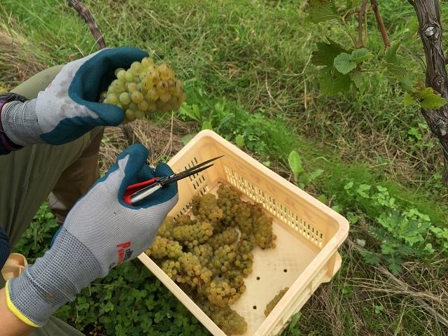ワイン用ぶどう収穫体験へ_c0124100_22324586.jpg