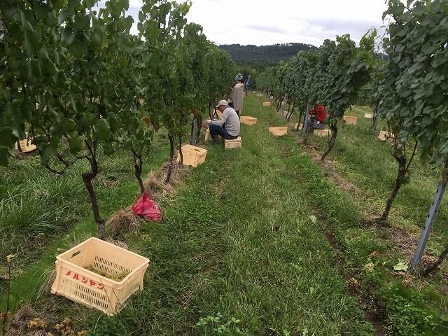 ワイン用ぶどう収穫体験へ_c0124100_2232620.jpg