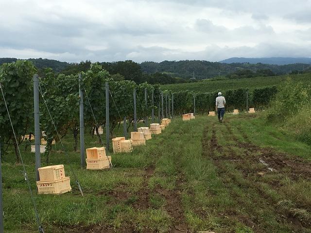 ワイン用ぶどう収穫体験へ_c0124100_22365861.jpg
