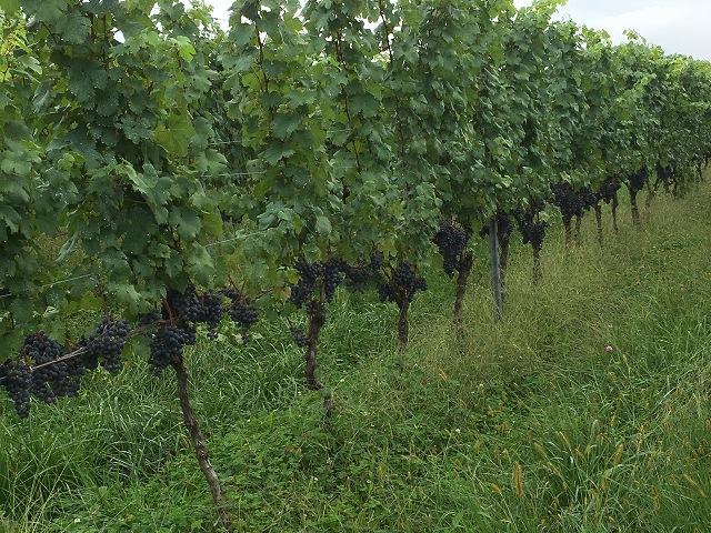 ワイン用ぶどう収穫体験へ_c0124100_2237178.jpg