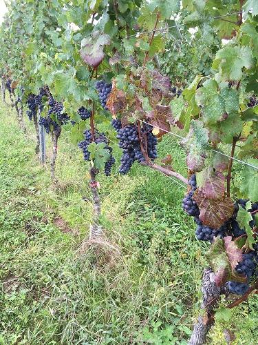 ワイン用ぶどう収穫体験へ_c0124100_2238022.jpg