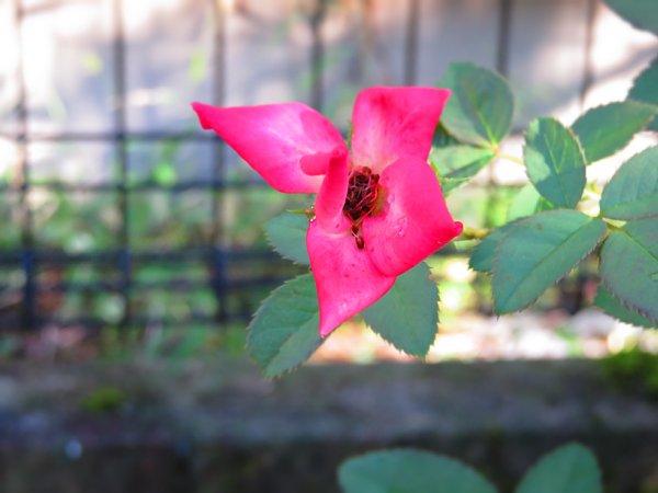 2016年9月26日 バラが咲いた !_b0341140_20194928.jpg