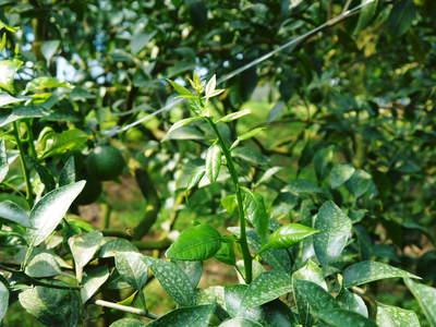 デコポン(肥後ポン) 徹底した温度と水管理で、この時期大きく成長させます!_a0254656_18345335.jpg