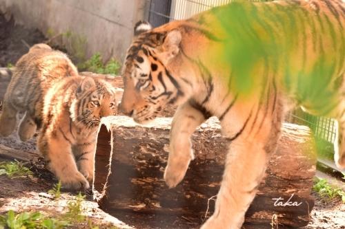 Asahiyama Zoo ♪3_d0342382_23243962.jpg