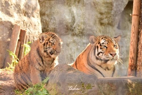 Asahiyama Zoo ♪3_d0342382_23300679.jpg