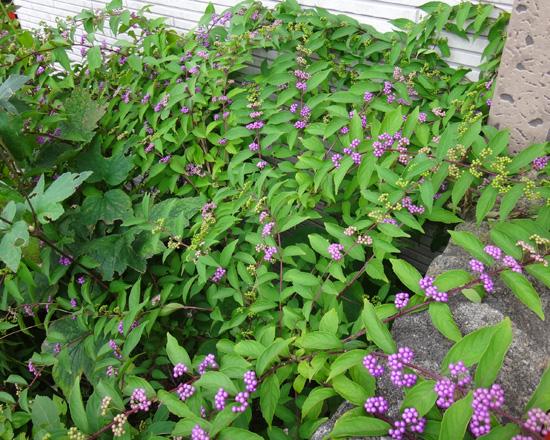 小さな段々花壇のコムラサキなど♪_a0136293_19113117.jpg