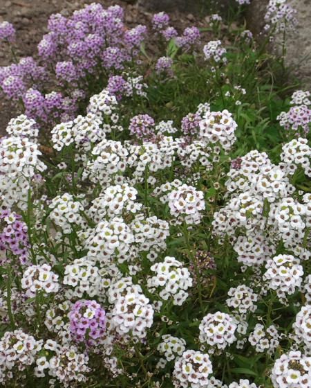 小さな段々花壇のコムラサキなど♪_a0136293_1918323.jpg