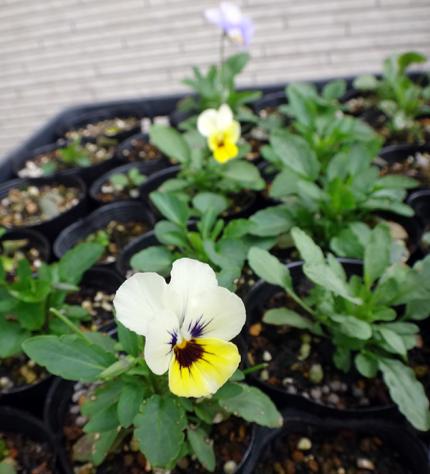 小さな段々花壇のコムラサキなど♪_a0136293_19212118.jpg