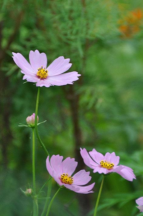 2016.09.25 秋桜と曼珠沙華_c0016718_18443280.jpg