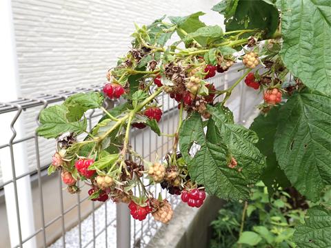 秋のラズベリーは出来がいまいちではありませんでした_f0108133_2201133.jpg