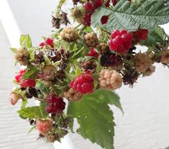 秋のラズベリーは出来がいまいちではありませんでした_f0108133_220164.jpg