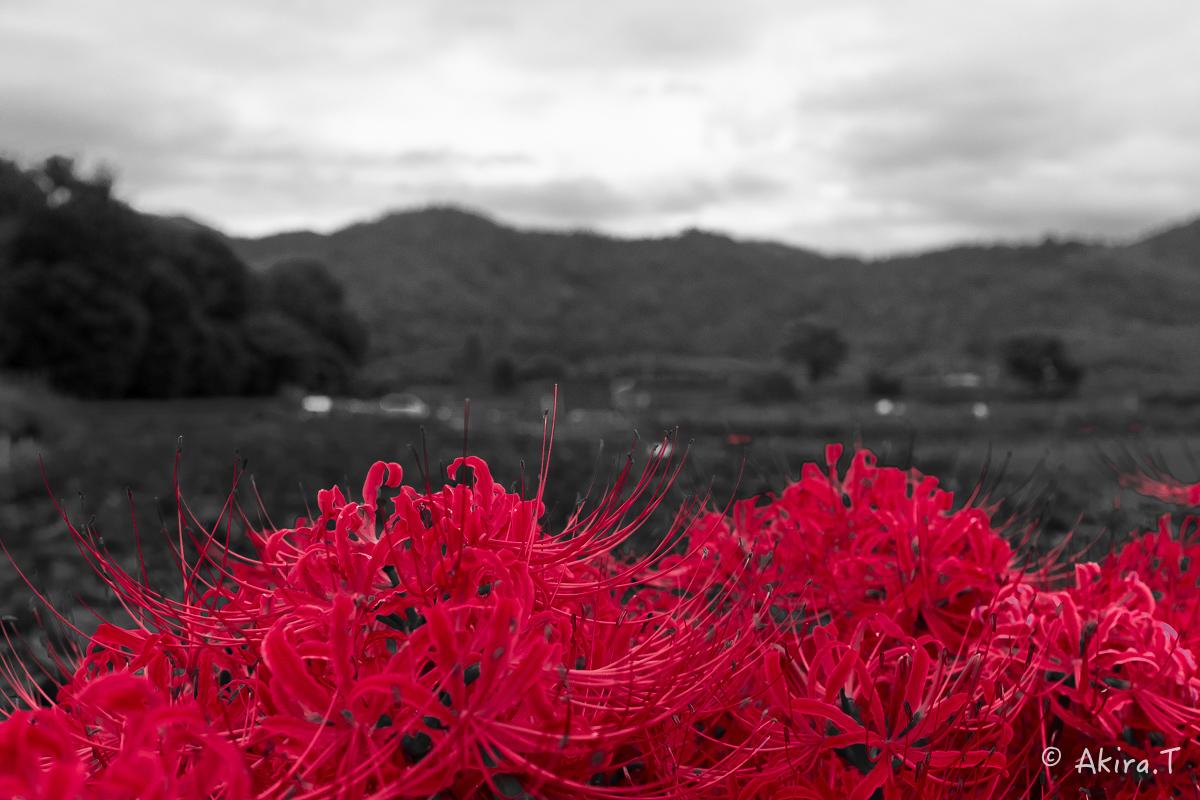 京都 嵯峨野の彼岸花 with YAMAHA SR400_f0152550_18221442.jpg
