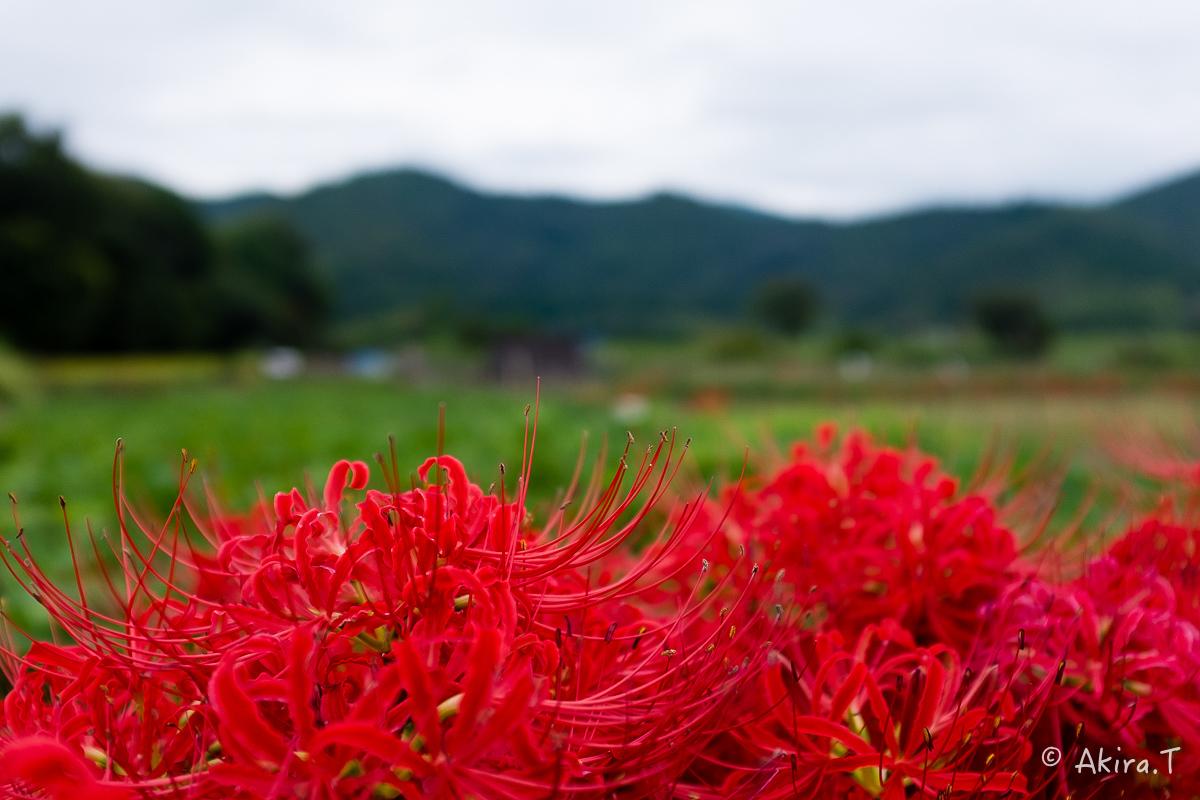 京都 嵯峨野の彼岸花 with YAMAHA SR400_f0152550_18222783.jpg