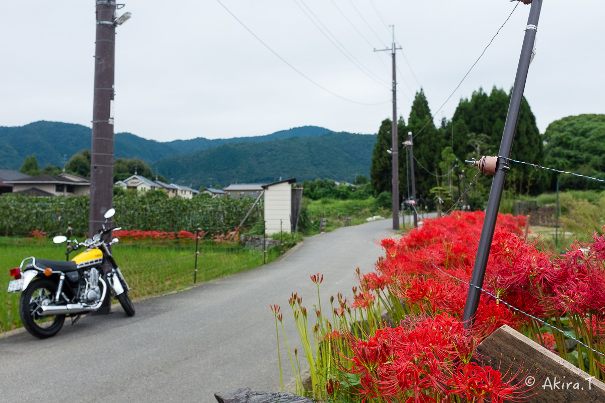 京都 嵯峨野の彼岸花 with YAMAHA SR400_f0152550_18240127.jpg