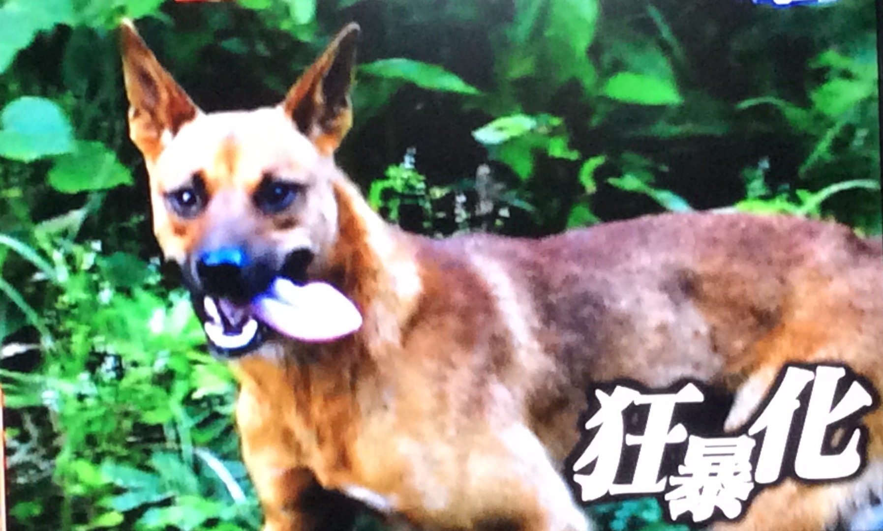 沖縄県国頭村野生の野犬はどうな...