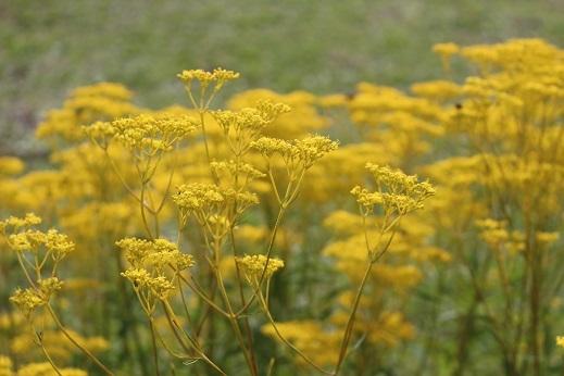 花の写真 「可愛い草花」 滝野すずらん丘陵公園 続続編 行ってきました。_f0362073_06351276.jpg