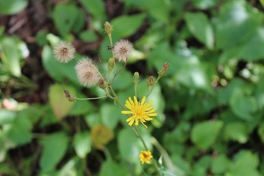 花の写真 「可愛い草花」 滝野すずらん丘陵公園 続続編 行ってきました。_f0362073_06384253.jpg
