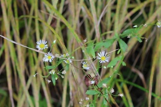 花の写真 「可愛い草花」 滝野すずらん丘陵公園 続続編 行ってきました。_f0362073_06403247.jpg