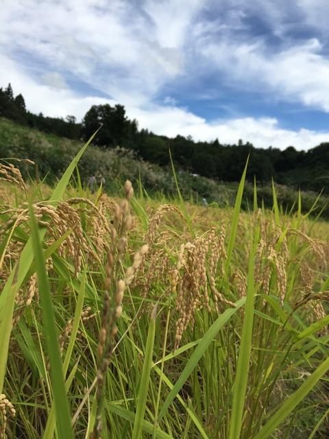 稲刈り、はさかけ体験_d0182179_19305062.jpg