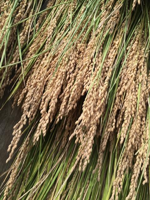 稲刈り、はさかけ体験_d0182179_19515183.jpg