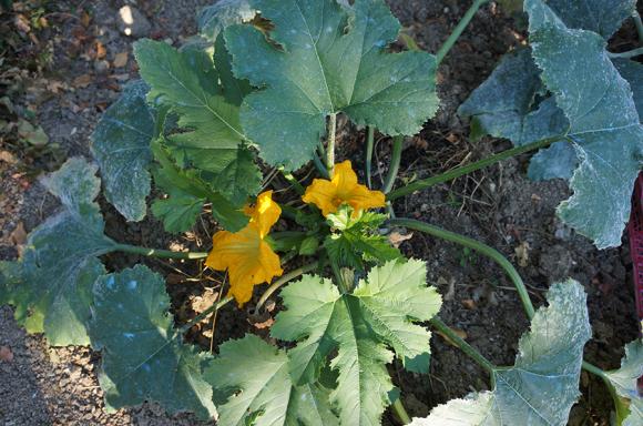今年風ズッキーニの花の詰め物_f0106597_05290225.jpg