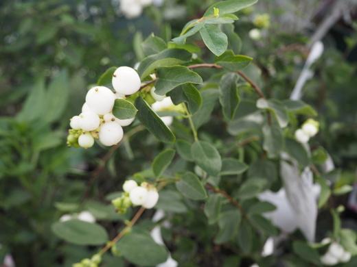 秋を告げる植物_f0139333_21441790.jpg