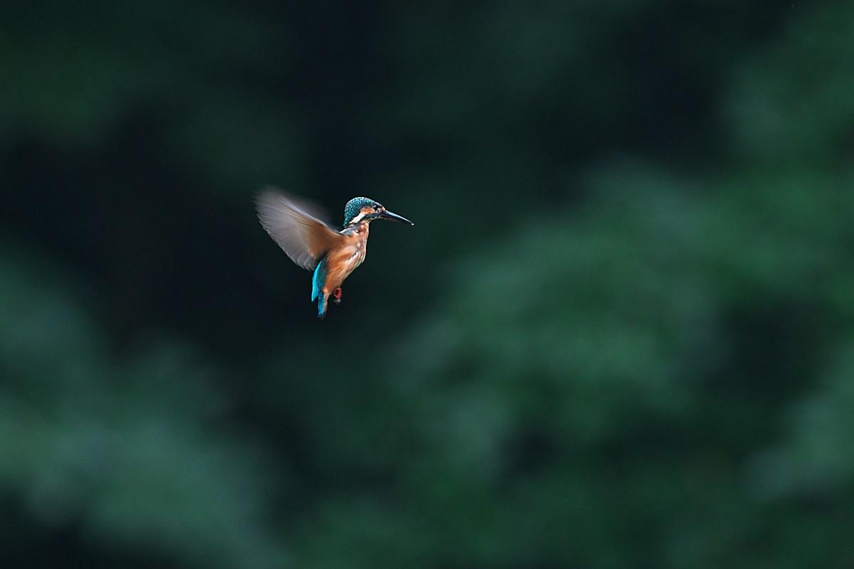 里山の小さな池のカワセミ_d0125872_23482586.jpg